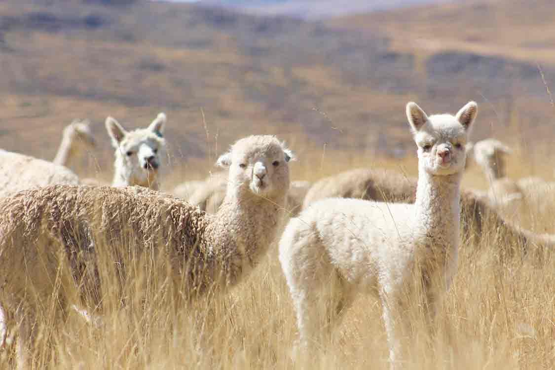 Qata Alpaca - Alpacas in their natural environment.